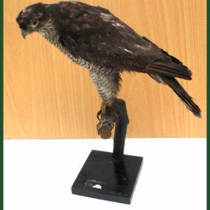 Vycpanina pták Ostříž 30cm.